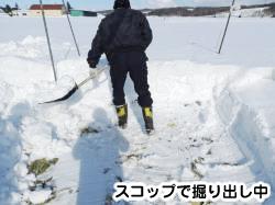 雪下キャベツの掘り起こし作業