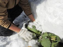 雪下キャベツの掘り起こしその2