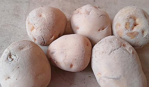 ジャガイモ外品(キタアカリ)