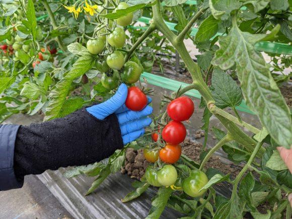 ミニトマト収穫の様子