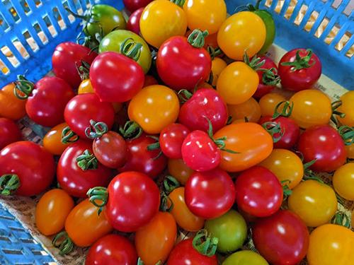 いろいろなトマト