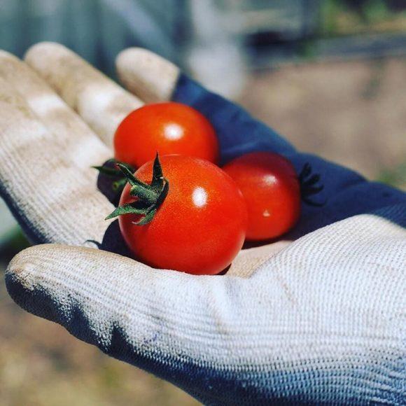 手のひらにミニトマト