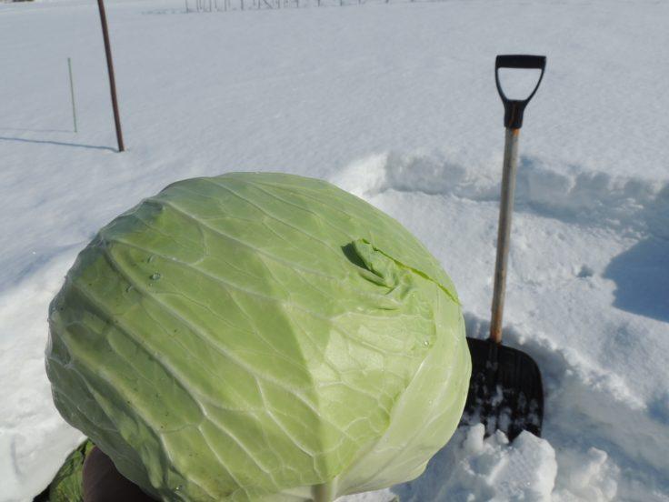雪下キャベツ
